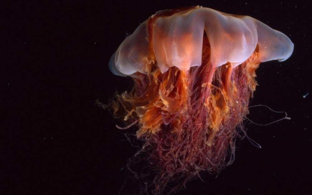 Tel Jellyfish image